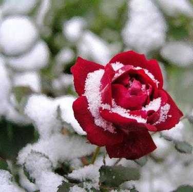 roza-snieg