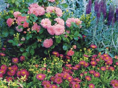 roze-byliny