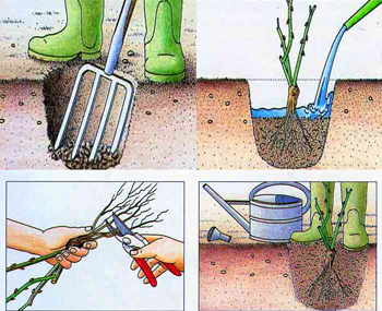 sadzenie-roz