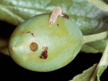 Owocnica żółtoroga