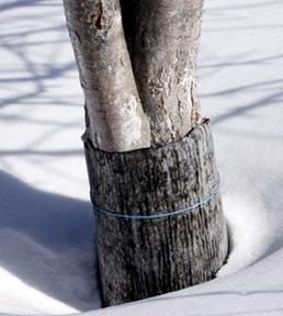 drzewo-oslonka