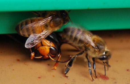 walka pszczol